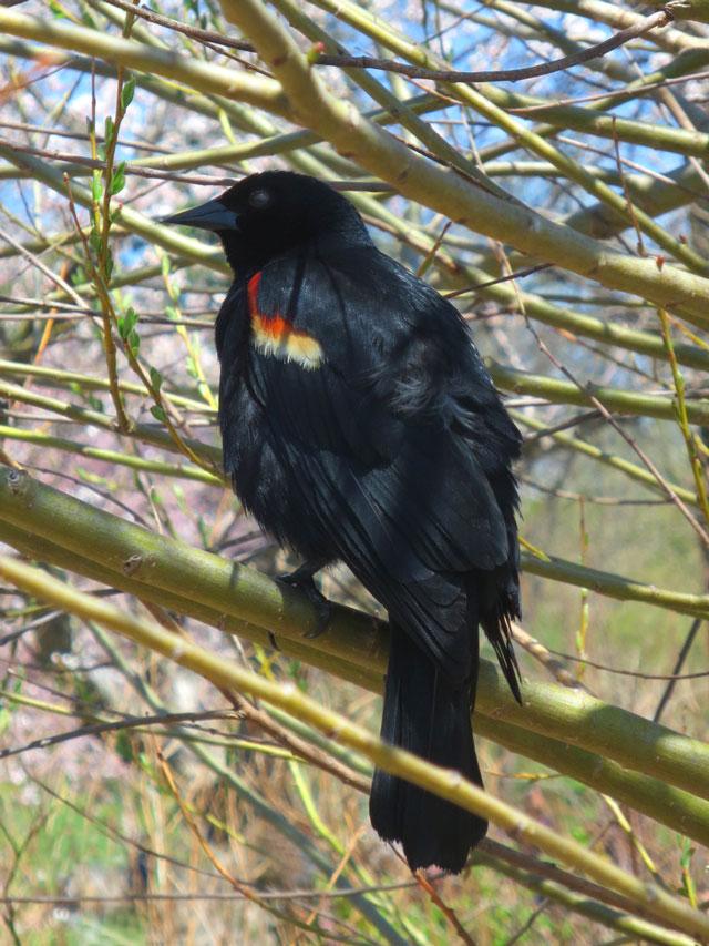 red-winged-blackbird-in-high-park-toronto
