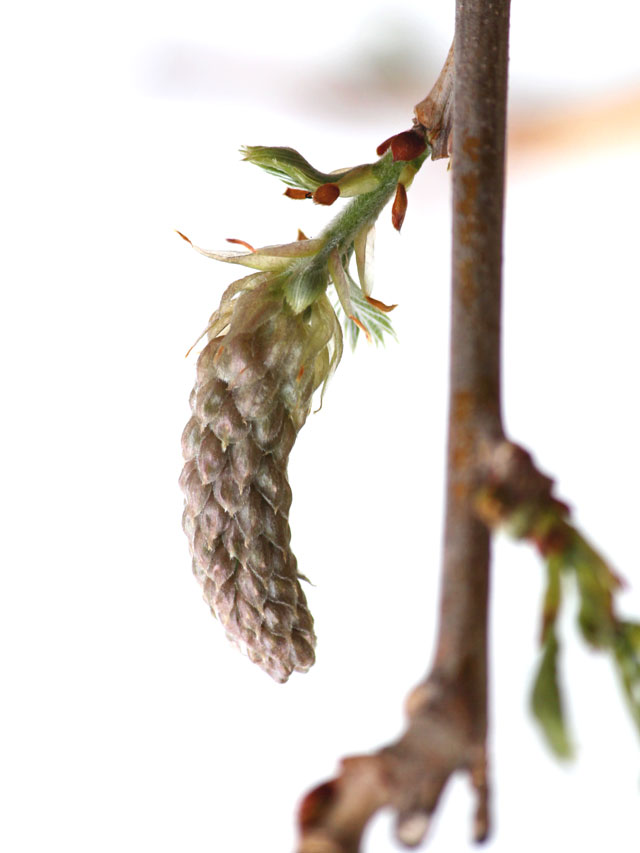 wysteria-flower-bud