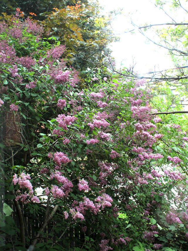 lilac-tree-thirty-two-years-old