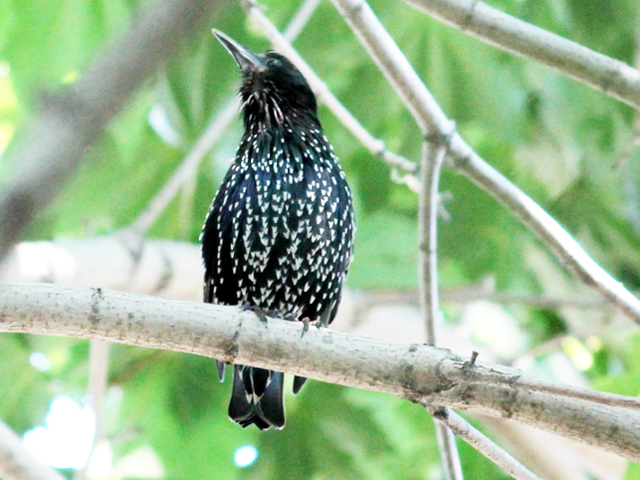 european-starling-in-toronto