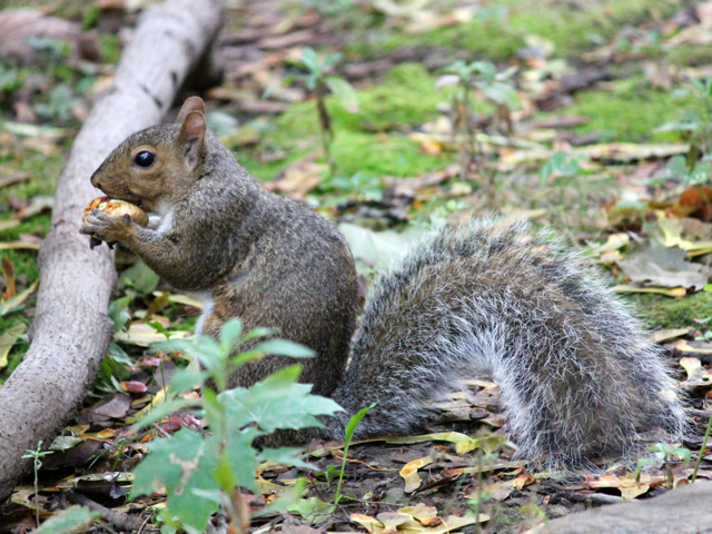 squirrel-eating-a-chestnut-in-toronto