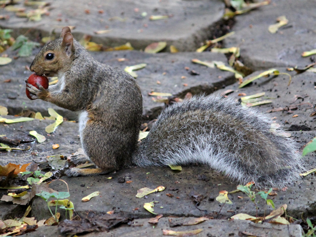 squirrel-with-a-chestnut-toronto