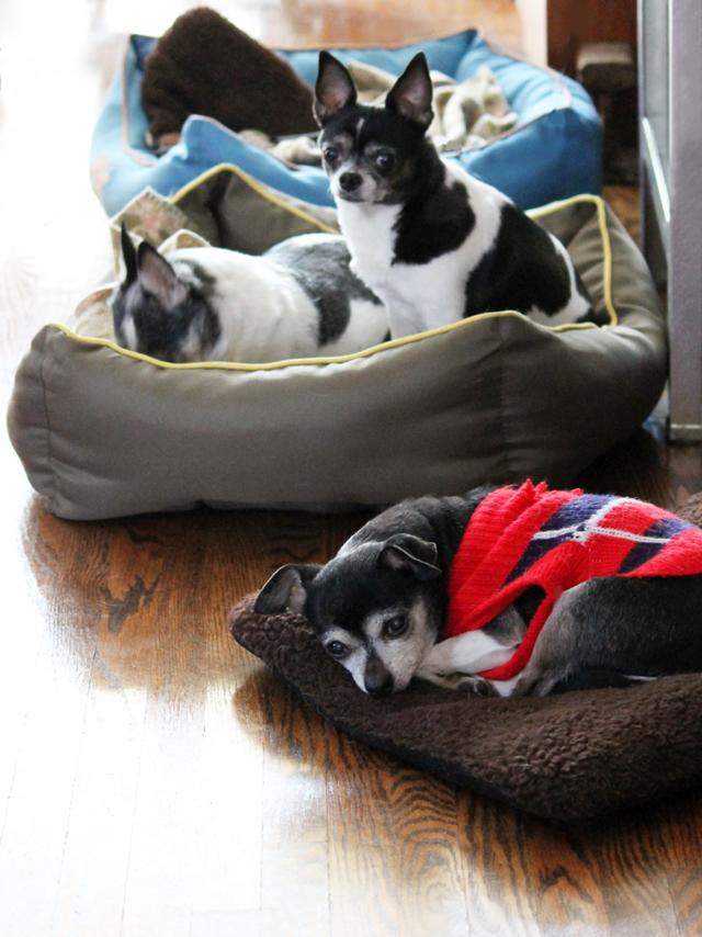 three-chihuahua-houseguests