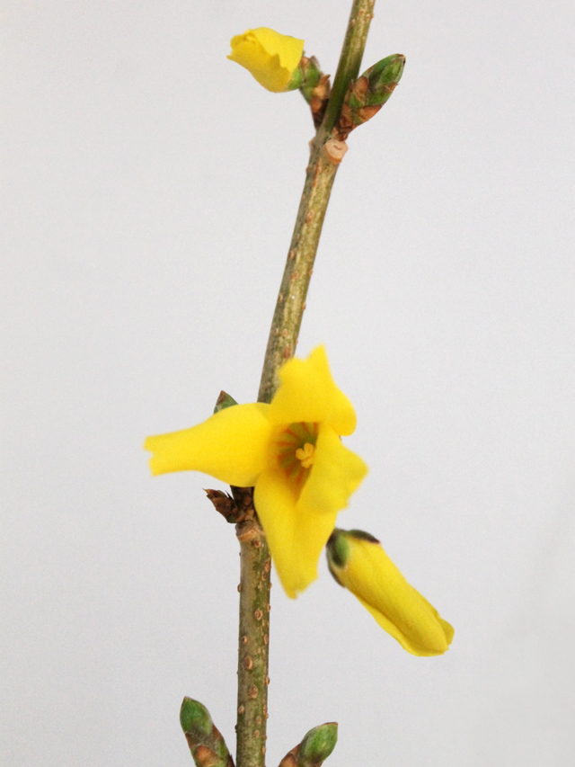 forsythia-branch-blooming-indoors