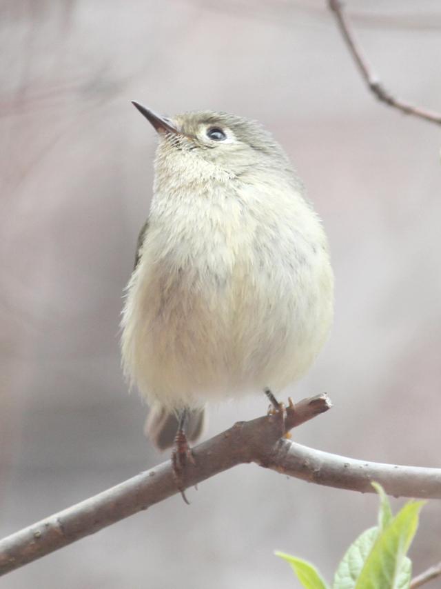 ruby-crownded-kinglet-bird-seen-in-toronto