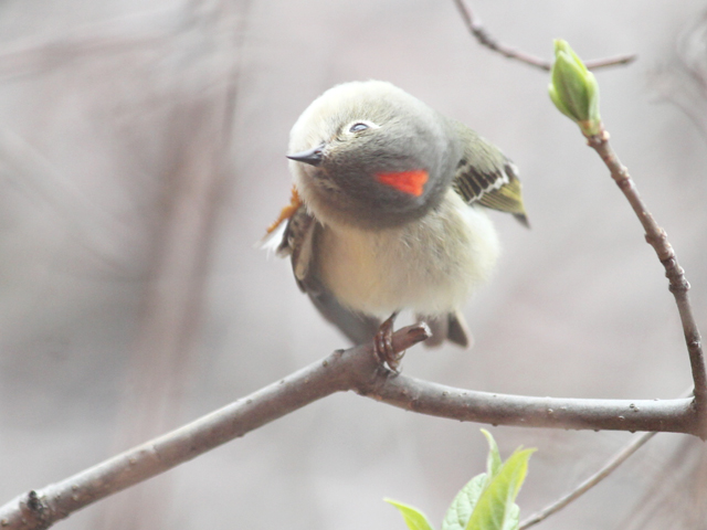 ruby-crownded-kinglet-showing-his-crest-toronto