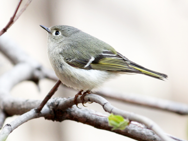 small-migrating-bird-seen-in-toronto-red-crowned-kinglet-female