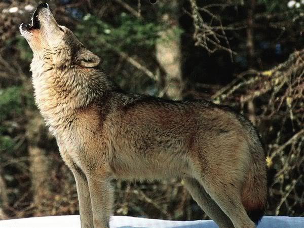loup-hurlant
