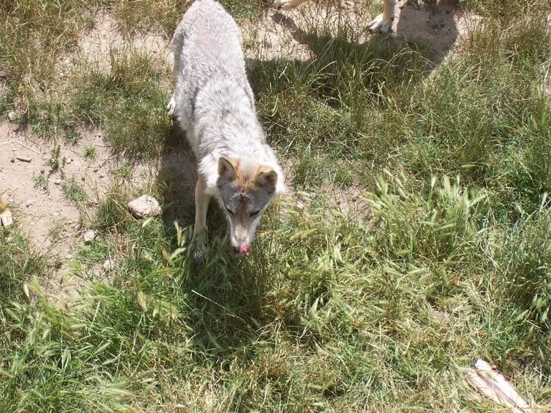 loups-gevaudan-2-3