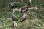 loups-gevaudan
