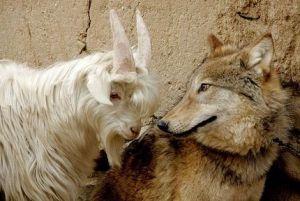 chevre-loup