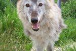 Alaskan-Timberwolf