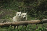 zootherapie-loup
