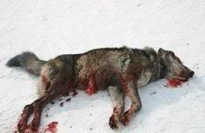loup-assassins-encore-frappe