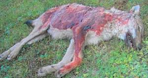 nouveaux-massacres-loups-arrete-hulot