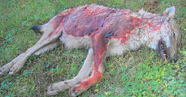 assassins-abattent-loup