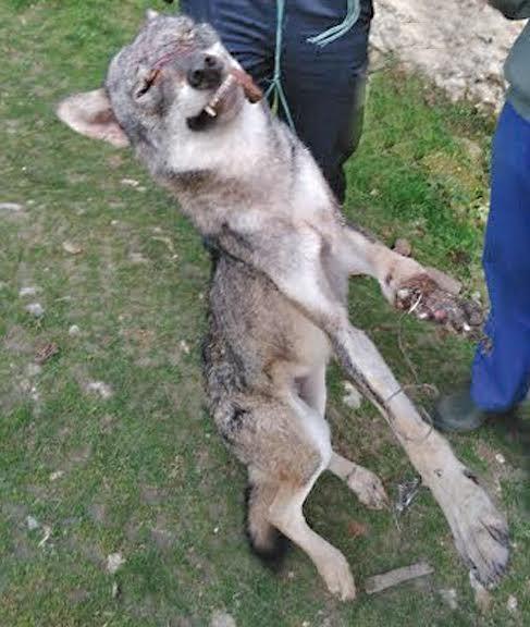 loup-dordogne-piste-canis-lupus-lupus-semble-confirmer
