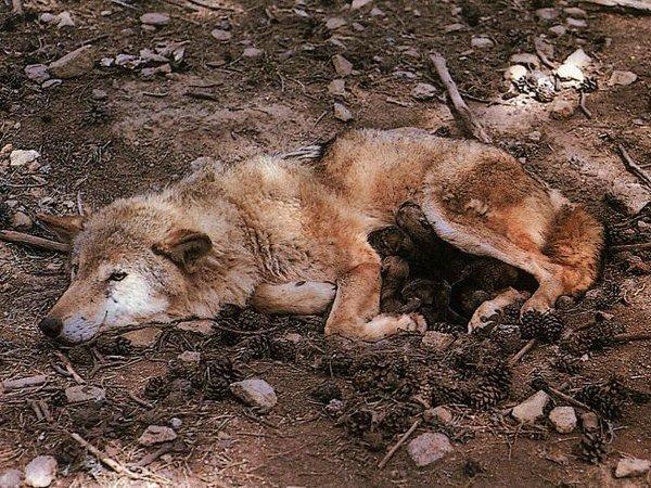 loups-abattus-juillet-2016
