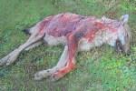 loup-mort-sang
