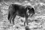 loup-yolande-freyer-4