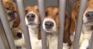 animaux-laboratoire-chiens