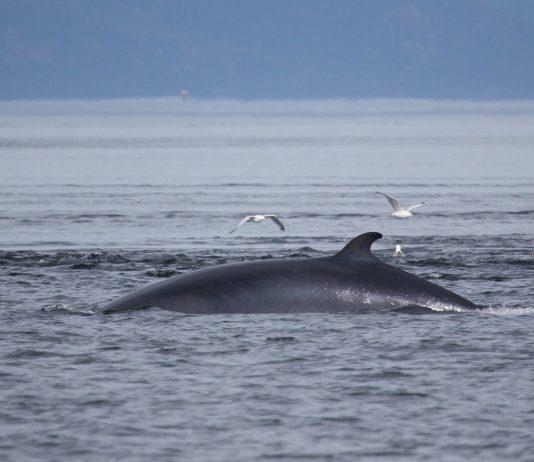 vågehval minke whale