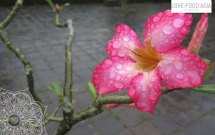 Schöne Blüte in Hue