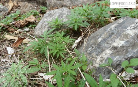 Wild Cannabis plants