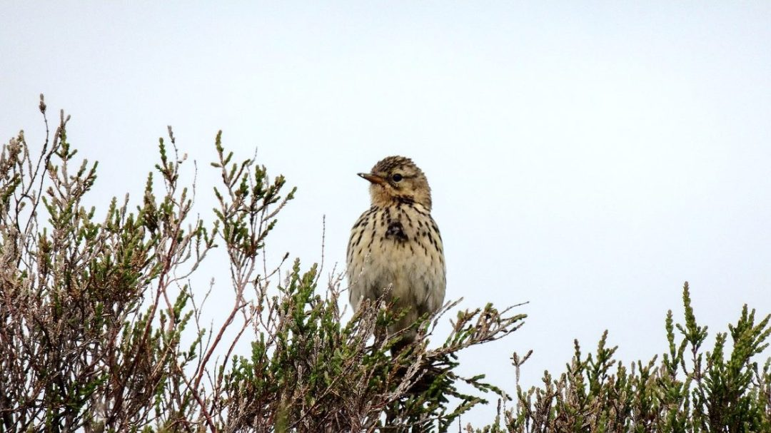 Skylark Bird Photo 2
