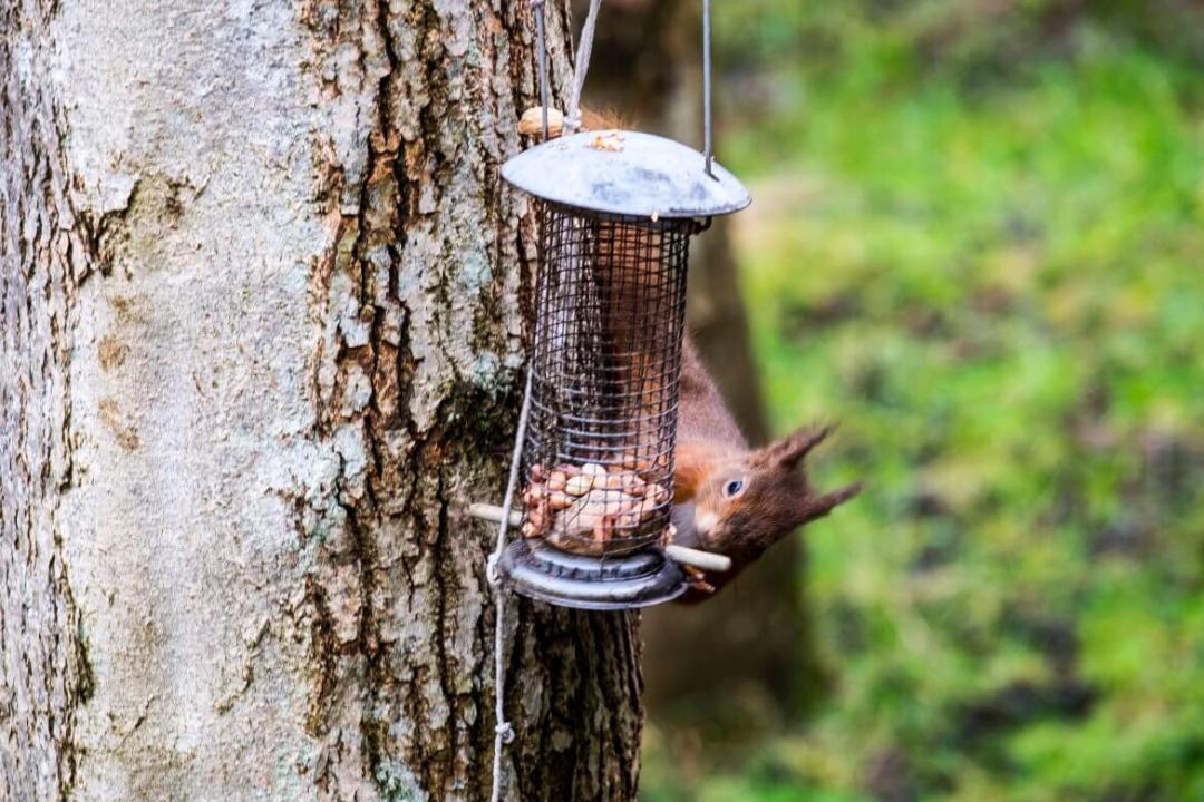 Red-Squirrel-Scotland