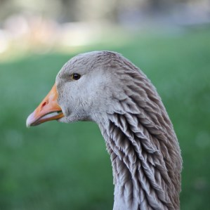 Had to sneak this one in of our gorgeous 13-year old American Buff goose, Sister.