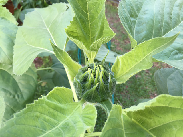 Sunflower Forming