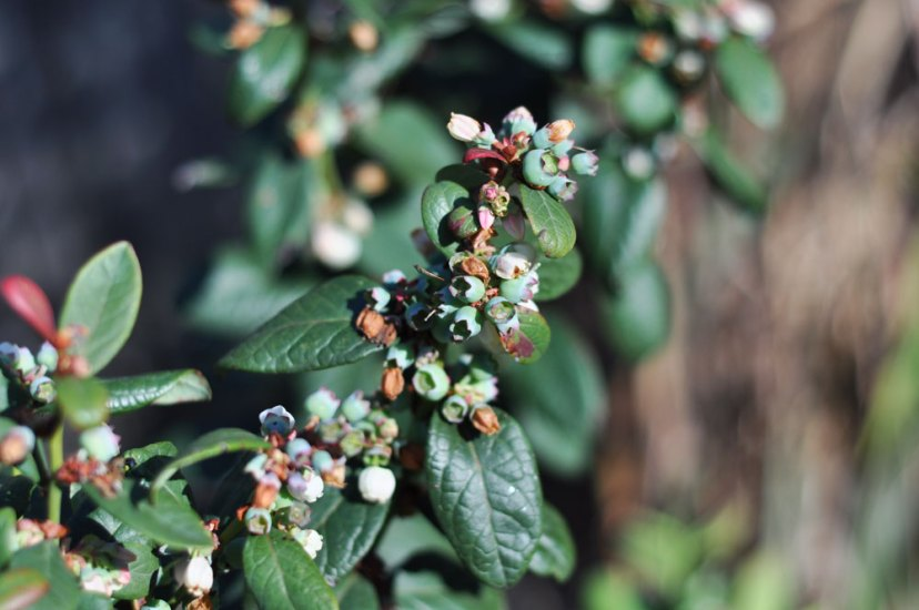 What fruits can I grow in pots? Blueberries