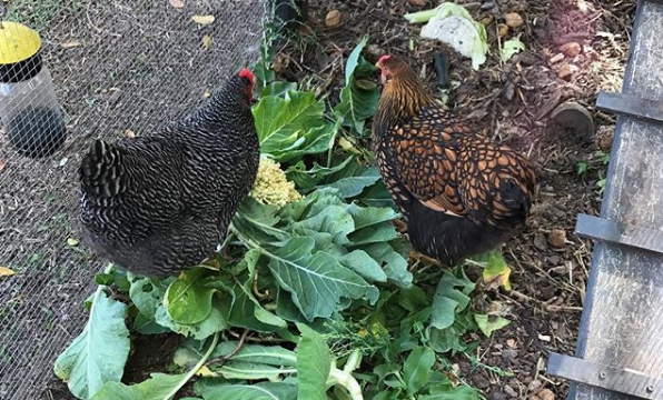backyard attack chickens
