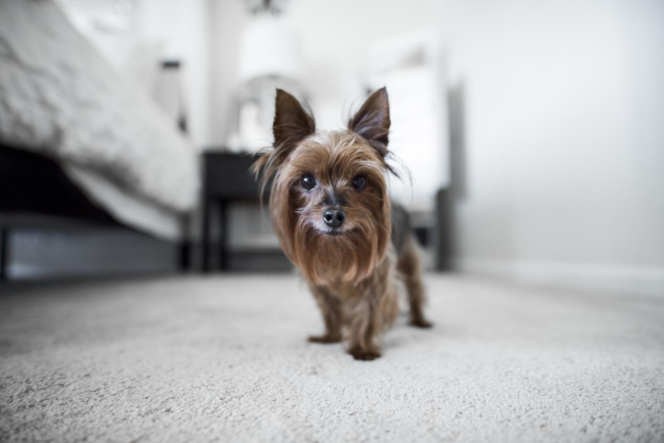 merlot yorkshire terrier