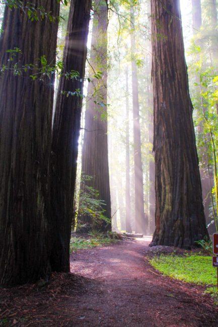 The Rockefeeler Loop Humboldt Redwoods State Park