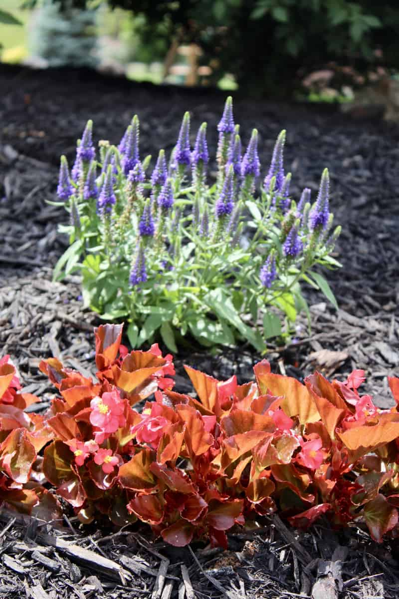 Front yard landscaping, Veronica perennial, begonia