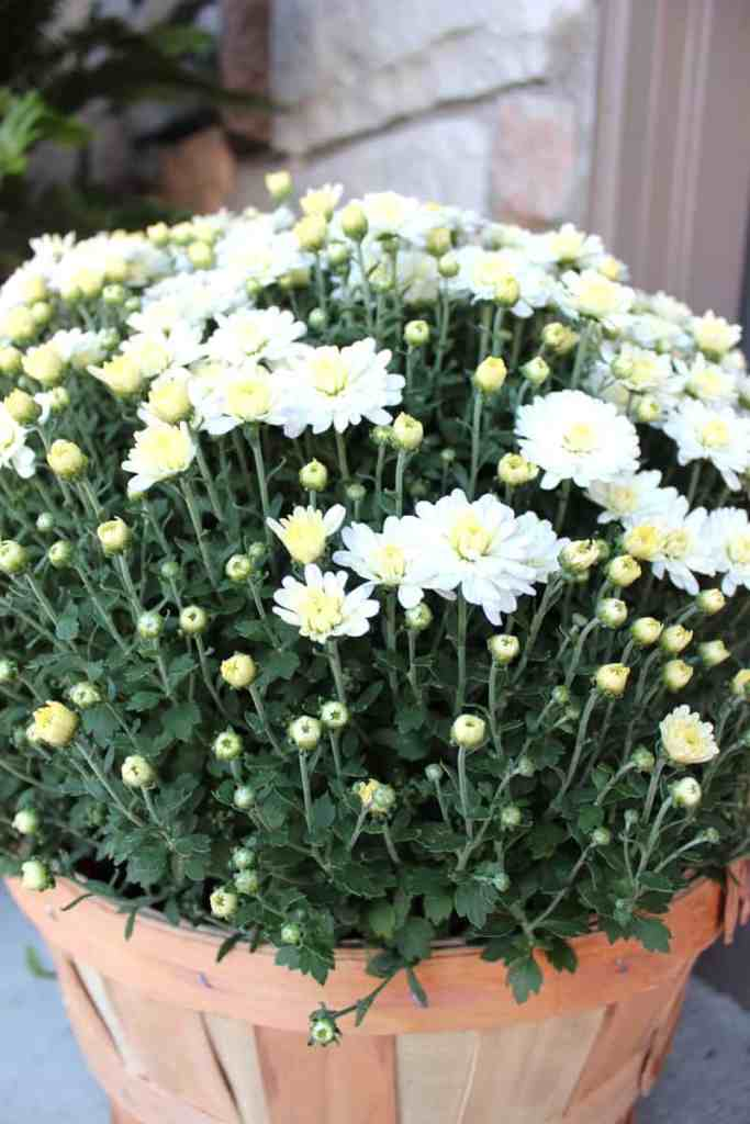 white and yellow mum, white mum, fall porch, decorating a fall porch