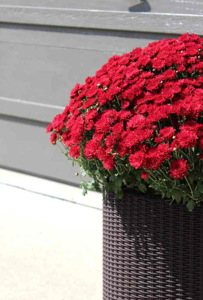 red mums, fall decor, red mums in fall decorating