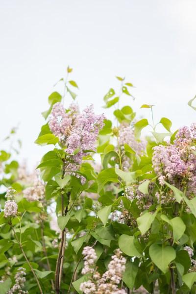 lilac fields