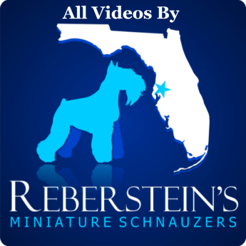 All Video By Reberstein's Miniature Schnauzers
