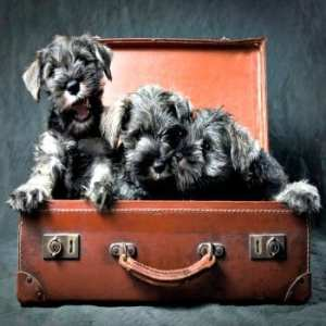 three-miniature-schnauzer-puppies-in-old-suitcase