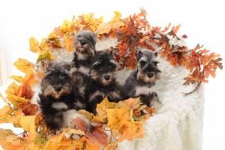 Reberstein Miniature Schnauzer Puppies