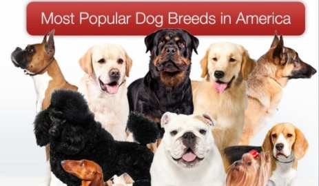 american-kennel-club-dog-rankings-2012