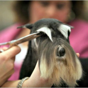 Grooming they eyebrows on a Miniature Schnauzer