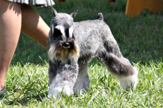 A slat and Pepper Miniature Schnauzer in the ring showing