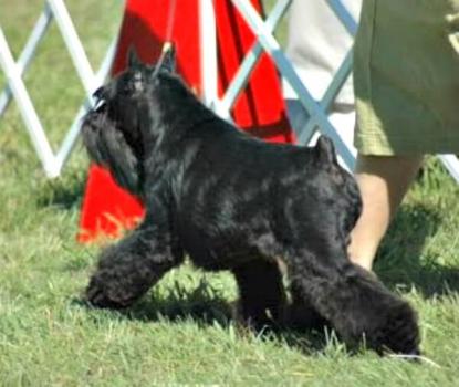 A Black Miniature Schnauzer strutting his stuff at a dog show