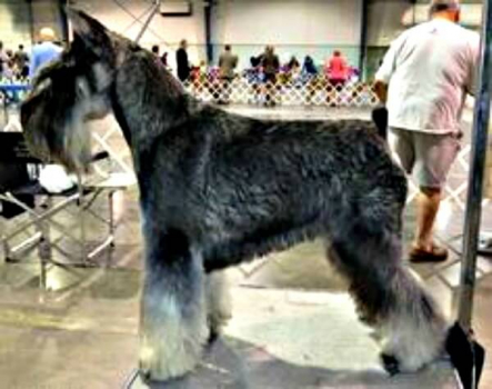 Salt and Pepper Miniature Schnauzer getting ready to show