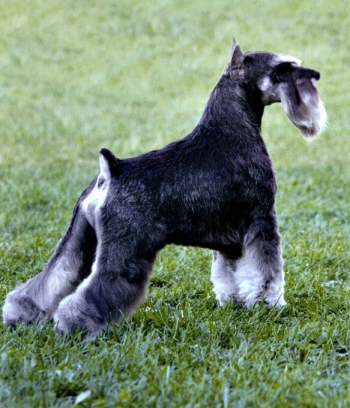 This Miniature Schnauzer is groomed to perfection