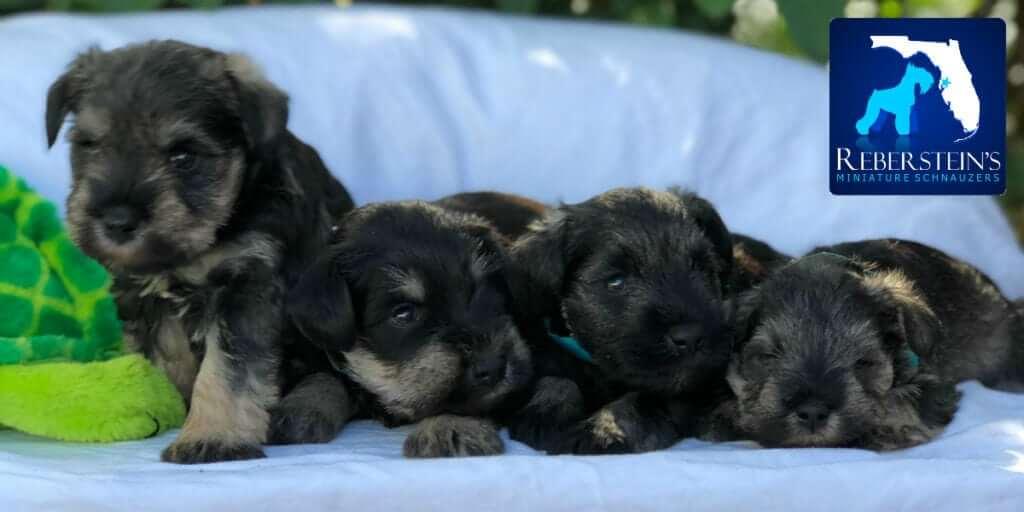 Reberstein Miniature Schnauzer Puppies Cropped Banner With Logo